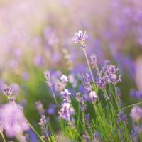 Blurring background lavender sunset. Crimean beauty at sunset